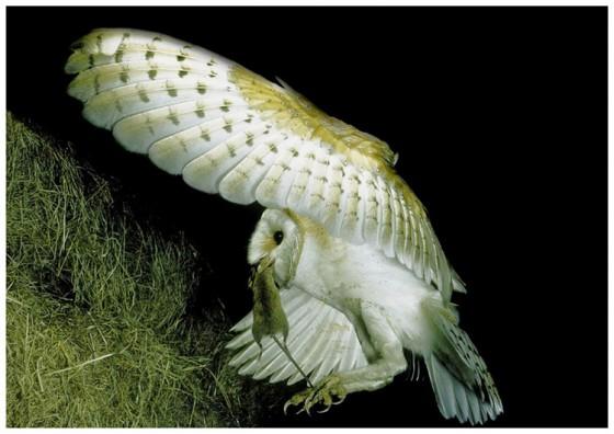 Barn Owl Approaching Nest
