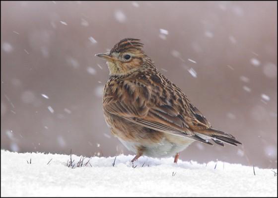 Snowstorm Skylark