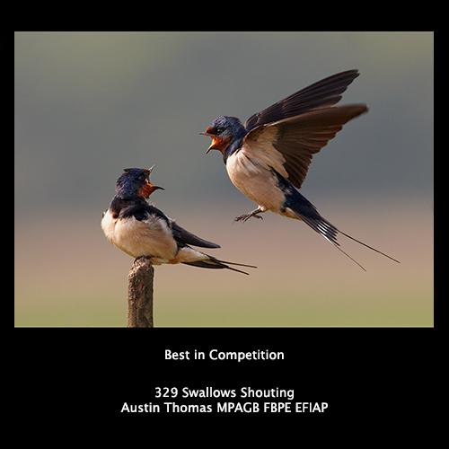 329 Swallows Shouting